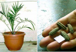 2000 Yıllık Tohumu Diktiler Ve Sonuç İnanilmaz
